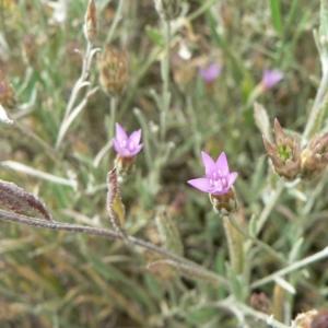Photographie n°19449 du taxon Xeranthemum cylindraceum Sm. [1813]
