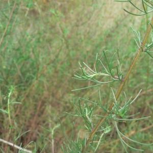 - Artemisia campestris subsp. campestris