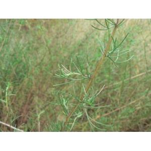 Artemisia campestris L. subsp. campestris (Armoise des champs)