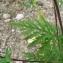 Mathieu MENAND - Ambrosia artemisiifolia L.