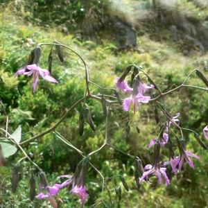 Photographie n°19516 du taxon Prenanthes purpurea L. [1753]