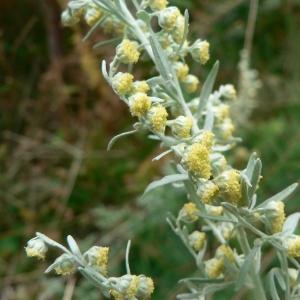 Photographie n°19519 du taxon Artemisia absinthium L.