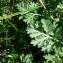 Mathieu MENAND - Artemisia absinthium L.