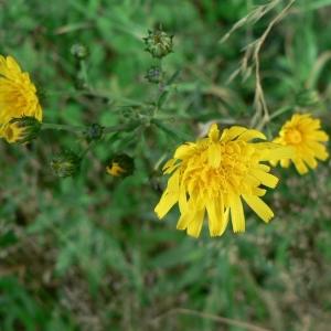 Photographie n°19569 du taxon Hieracium umbellatum L. [1753]