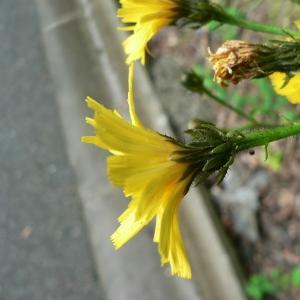 Picris hieracioides subsp. umbellata (Schrank) Ces. (Picride de Villars)