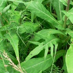 - Cirsium heterophyllum (L.) Hill