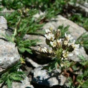 Achillea erba-rotta subsp. moschata (Wulfen) Vacc. [1909] (Achillée musquée)