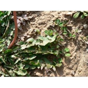 Taraxacum bithynicum DC. (Pissenlit)