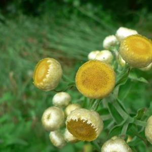 - Helichrysum foetidum (L.) Moench [1794]