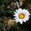 Mathieu MENAND - Leucanthemopsis alpina (L.) Heywood