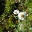 Mathieu MENAND - Achillea ptarmica subsp. pyrenaica (Sibth. ex Godr.) Heimerl