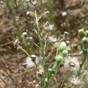 Photographie n°19686 du taxon Conyza bonariensis (L.) Cronquist