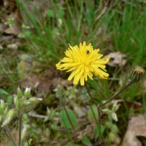 Photographie n°19689 du taxon Crepis sancta subsp. nemausensis (Vill.) Babc. [1941]