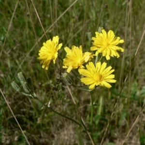 Barkhausia nicaeensis (Balb.) Spreng. (Crépide de Nice)