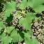 Mathieu MENAND - Xanthium strumarium subsp. italicum (Moretti) D.Löve