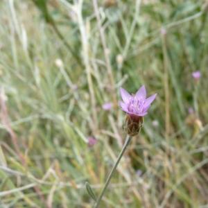 Photographie n°19768 du taxon Xeranthemum cylindraceum Sm. [1813]