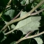 Mathieu MENAND - Adenostyles leucophylla (Willd.) Rchb. [1831]