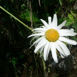 Leucanthemum maximum (Ramond) DC. (Marguerite élevée)