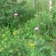 Mathieu MENAND - Cirsium heterophyllum (L.) Hill