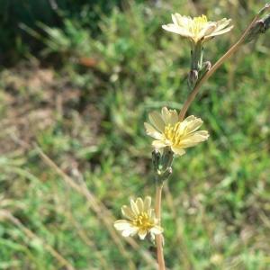 Photographie n°19800 du taxon Lactuca saligna L.