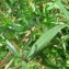 Mathieu MENAND - Achillea ptarmica subsp. ptarmica
