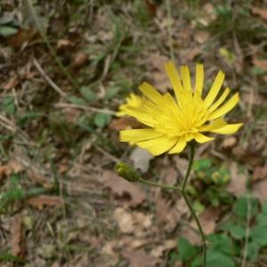 Photographie n°19805 du taxon Hieracium glaucinum Jord. [1848]