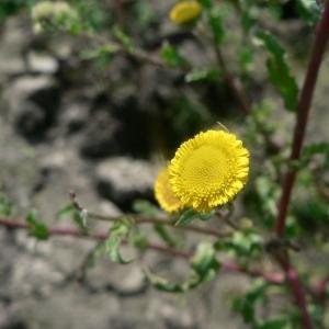Pulicaria vulgaris Gaertn. (Pulicaire commune)