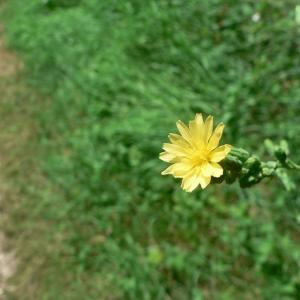 Photographie n°19837 du taxon Lactuca virosa L.