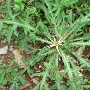 Photographie n°19847 du taxon Centaurea calcitrapa L. [1753]