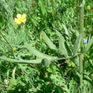 Photographie n°19848 du taxon Centaurea scabiosa L. [1753]