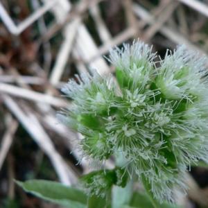 Petasites albus (L.) Gaertn. (Pétasite blanc)