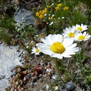 - Anthemis cretica subsp. columnae (Ten.) Franzén [1986]