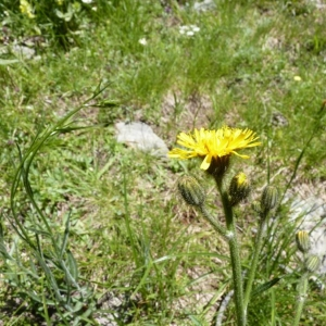 Willemetia stipitata (Jacq.) Dalla Torre (Fausse Apargie)