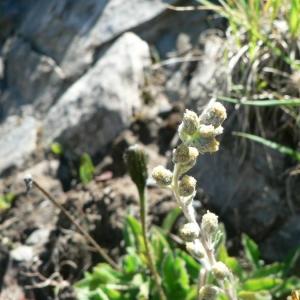 - Artemisia eriantha Ten. [1831]