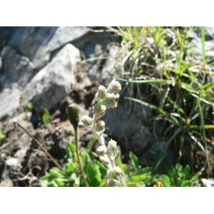 Artemisia eriantha Ten. (Genépi laineux)
