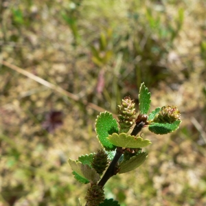 Photographie n°19962 du taxon Betula nana L. [1753]