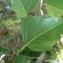 Mathieu MENAND - Betula pubescens Ehrh. [1791]