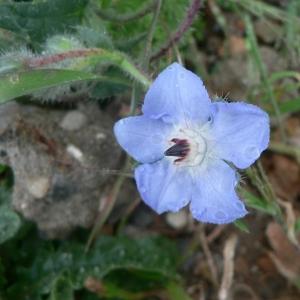 Photographie n°19991 du taxon Borago officinalis L. [1753]