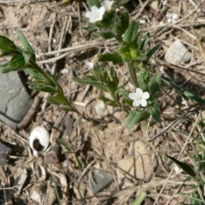 Photographie n°20026 du taxon Lithospermum arvense L.
