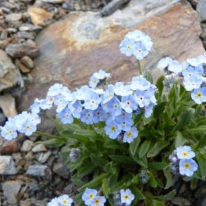 Myosotis corsicana subsp. pyrenaeorum Blaise & Kerguélen (Myosotis des Pyrénéens)