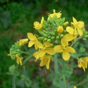 Photographie n°20091 du taxon Brassica napus L. [1753]