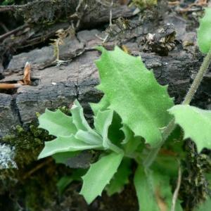 Photographie n°20094 du taxon Arabis alpina L.