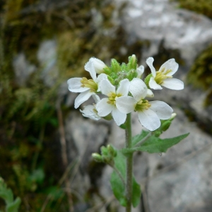 Arabis alpina L. (Arabette des Alpes)