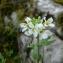 Mathieu MENAND - Arabis alpina L.