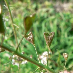 Photographie n°20124 du taxon Capsella bursa-pastoris (L.) Medik. [1792]