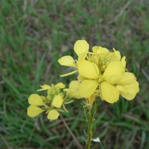 Photographie n°20125 du taxon Brassica nigra (L.) W.D.J.Koch