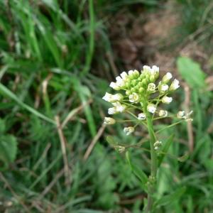 Thlaspi alliaceum L. (Tabouret à odeur d'ail)