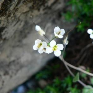 Photographie n°20146 du taxon Arabis alpina L.