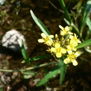 Photographie n°20147 du taxon Rorippa amphibia (L.) Besser