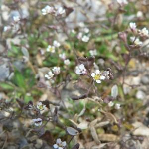 Capsella bursa-pastoris subsp. rubella (Reut.) Hobk. (Bourse-à-pasteur rougeâtre)